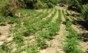 marijuana11