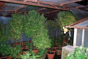 Scoperta serra di marijuana in una casa disabitata
