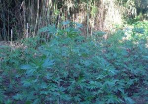 Scoperte 322 piante di cannabis indica