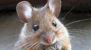 Anche i topi ridono