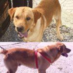 Appello per ritrovare un Labrador scomparso
