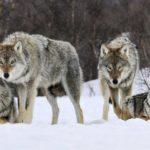Bloccato il provvedimento per l'abbattimento dei lupi, Oliverio ringrazia Bonaccini