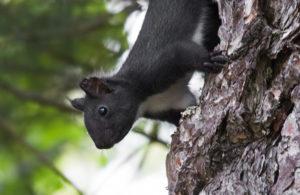 Scoperto in Calabria un nuovo mammifero, lo scoiattolo meridionale