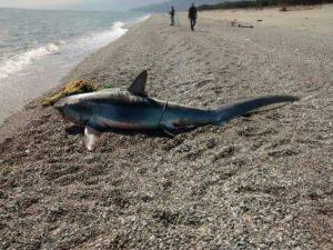 FOTO NEWS | Squalo pescato a Roccelletta di Borgia