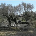 Satriano – Incendio distrugge 148 piante di ulivo