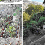 Rinvenuta dai carabinieri una piantagione di canapa indiana