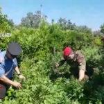 Sequestrata una piantagione di canapa indiana