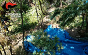 Distrutte piantagioni di canapa indiana per un valore di 600mila euro