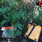 Piantagione di cannabis in un fondo agricolo, 38enne arrestato