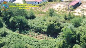 Scoperte quattro piantagioni di marijuana, due tonnellate distrutte