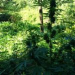 Centoventitre piante di canapa indiana rinvenute in un terreno abbandonato