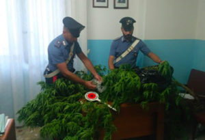 Sorpreso a coltivare marijuana, 65enne arrestato