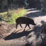 VIDEO | In Calabria i cinghiali ormai dimorano insieme agli agnelli