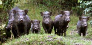 Emergenza cinghiali, il Dipartimento agricoltura risponde a Coldiretti