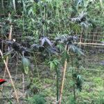 Rinvenute trecento piante di canapa indiana tra la vegetazione, distrutte