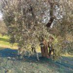 Va a raccogliere olive, cade dall'albero e muore