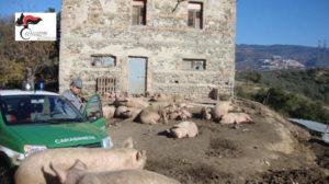 Sequestrati nel catanzarese 44 suini in un allevamento non autorizzato