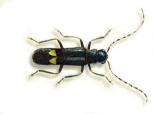 Scoperta nel Parco dell'Aspromonte un nuova specie di insetto
