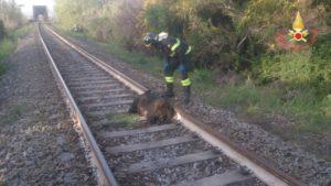 Soverato – Rimossa carcassa di cinghiale dalla linea ferroviaria