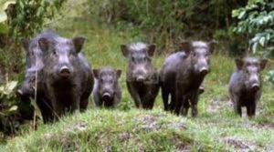 SOS cinghiali in Calabria, Coldiretti: Gli agricoltori non possono abbandonare i campi e chiudere le aziende