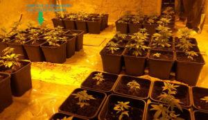 Scoperta una serra di marijuana in casa, 54enne arrestato e 38mila dosi sequestrate