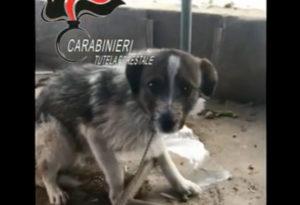Davoli – Cani maltrattatati e senza cibo, denunciata coppia di coniugi