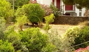 FOTO NEWS   Soverato – Cinghiali nel giardino dell'Istituto Salesiani