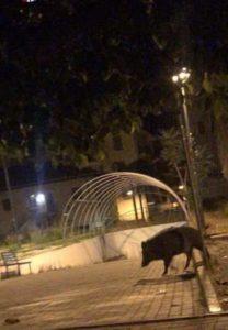 FOTO NEWS | Soverato – Cinghiale a spasso in Via Trento e Trieste