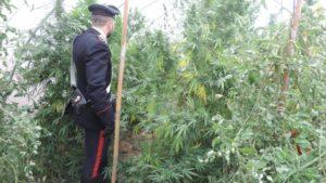 Scoperta piantagione di cannabis, sequestrate 435 piantine e impianto di irrigazione