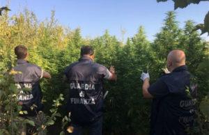 Scoperte due serre industriali con tremila piante di marijuana, una denuncia