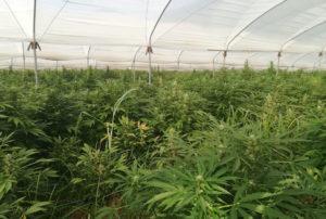 """Operazione """"Cannabis Farm"""" – Sequestrate oltre 89mila piante marijuana, 7 arresti"""
