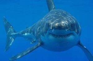 È stato avvistato un grande squalo bianco alle Baleari, il primo dopo 40 anni