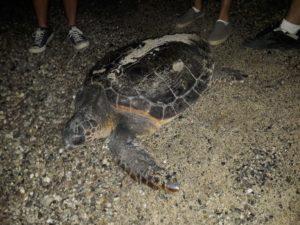 Tartaruga caretta caretta depone le uova nella spiaggia di Soverato