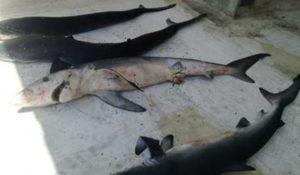 Trovati sette piccoli esemplari di squalo spiaggiati sullo Jonio