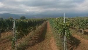 Coldiretti – Vigneto Calabria, buona la fotografia di Agosto