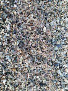 FOTO NEWS | Migliaia di gamberetti sulla spiaggia di San Sostene
