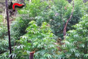 Scoperta piantagione di canapa indica, estirpate mille piante