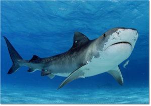 Quattro squali catturati e uccisi dopo gli attacchi