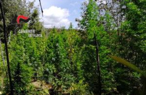 Rinvenuta una piantagione di 420 piante di canapa indica