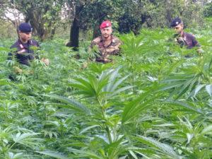Sequestrata piantagione con oltre 120 piante di canapa indiana
