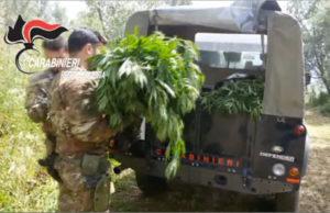'Ndrangheta – Colpo al business della marijuana, tre fratelli arrestati