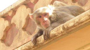 India choc, scimmia rapisce neonato dalla culla e lo uccide