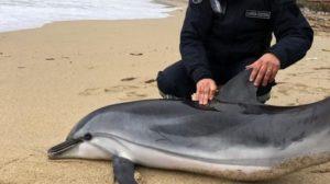 Delfino spiaggiato, inutili i tentativi di salvarlo