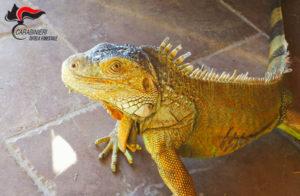 Aveva in casa iguana senza autorizzazioni, denunciato