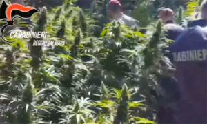 Scoperta una piantagione di marijuana con 1340 piante, tre arresti