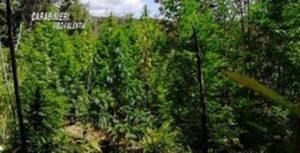 Scoperta una piantagione di marijuana, avrebbe fruttato circa 800mila euro