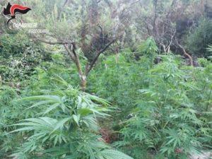 Rinvenute due piantagioni di marijuana, quattro persone arrestate