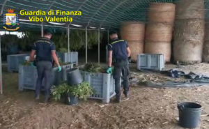 Sequestrati 6 quintali di marijuana e 5200 piantine di canapa, cinque persone arrestate
