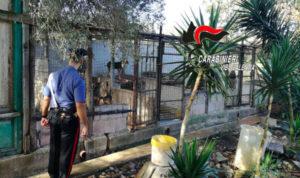 Scoperto in Calabria un canile abusivo, animali sporchi e malnutriti. Due denunce