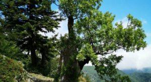 Scoperta in Calabria la quercia più vecchia al mondo, ha 943 anni!